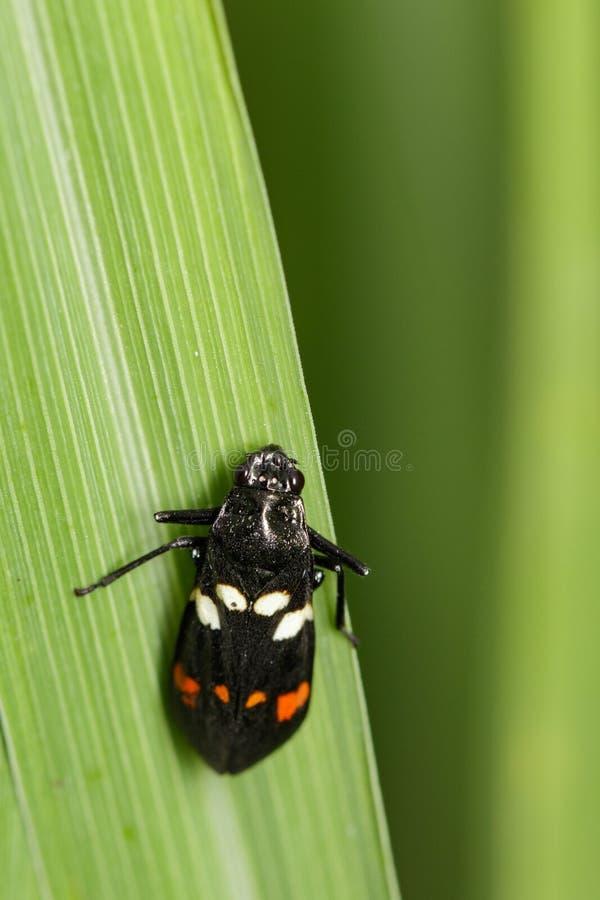 Imagen del escarabajo negro en las hojas verdes insecto imagenes de archivo