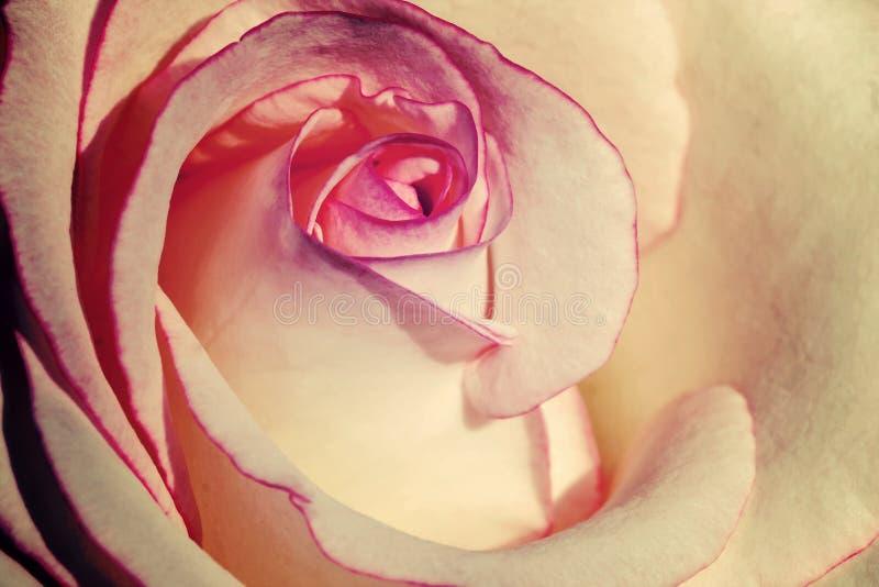 Imagen del estilo del vintage del pétalo color de rosa blanco y rosado para el fondo imagen de archivo