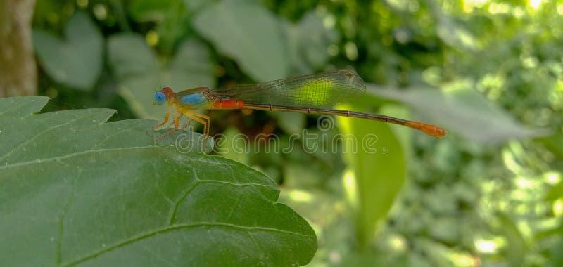 Imagen del insecto observado azul de la libélula en un jardín/un bosque con el fondo borroso imagen de archivo libre de regalías