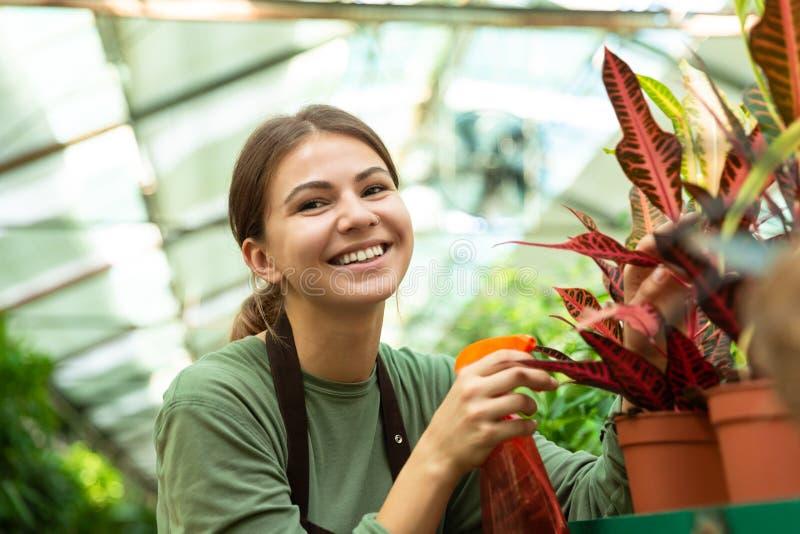 Imagen del jardinero que se coloca sobre las plantas en flores del invernadero y del riego con el rociador fotos de archivo
