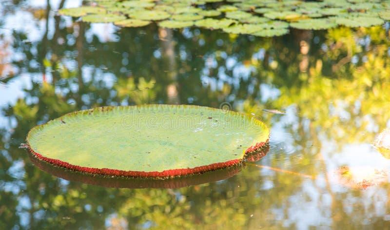 Imagen del loto de Victoria del gigante en el agua, Victoria waterlily, ama imágenes de archivo libres de regalías