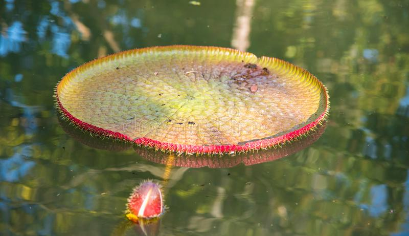 Imagen del loto de Victoria del gigante en el agua, Victoria waterlily, ama foto de archivo
