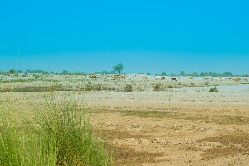 Imagen del paisaje de un área del desierto en Punjab, Paquistán, cattale que pasta fotos de archivo libres de regalías