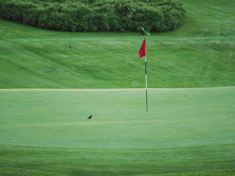 Imagen del pequeño pájaro negro en el campo de golf que se sienta al lado de bandera roja imagenes de archivo