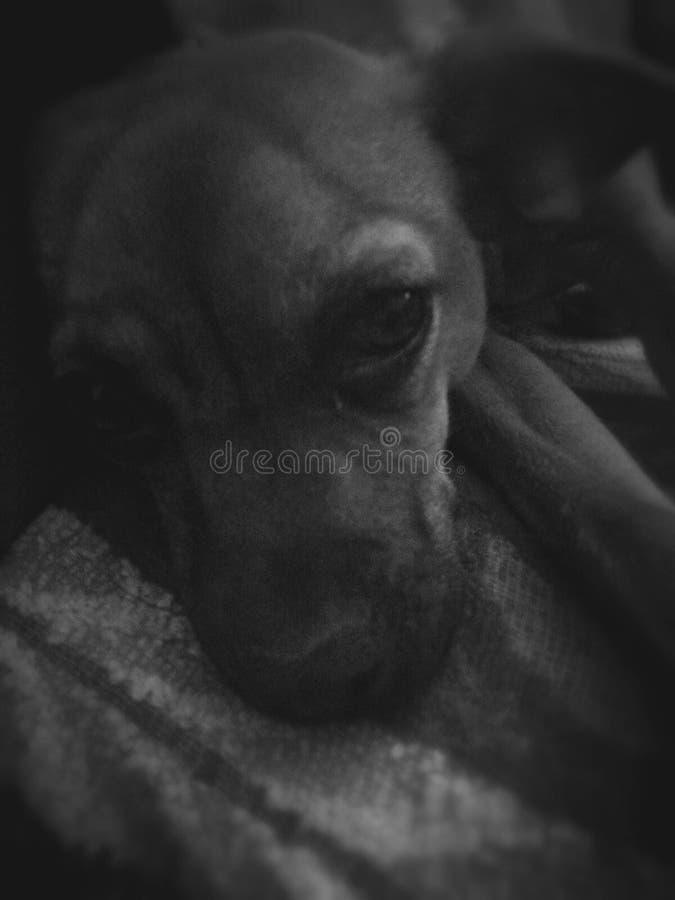 Imagen del perro fotografía de archivo libre de regalías