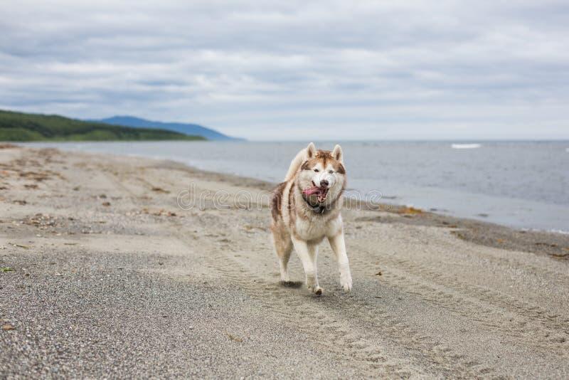 Imagen del perro beige y blanco divertido del husky siberiano que corre en la arena en la playa imagen de archivo libre de regalías