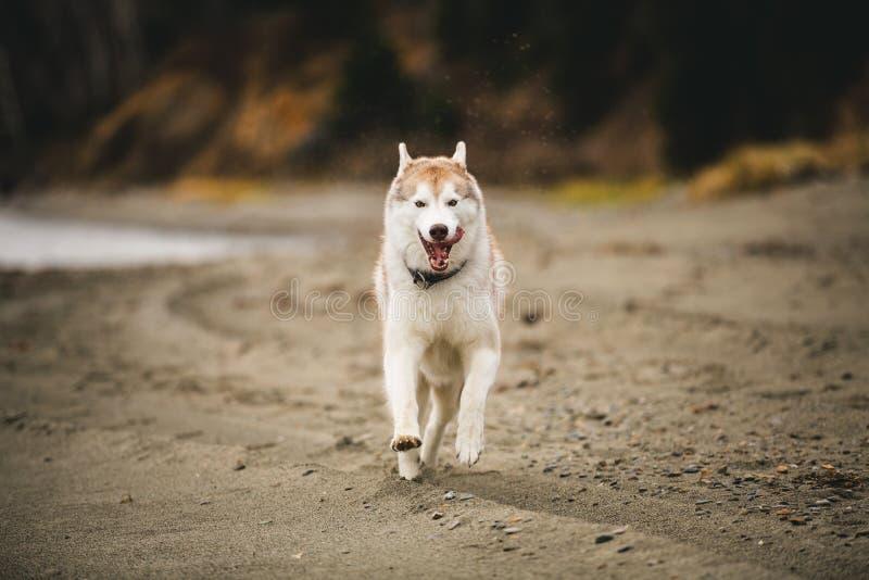 Imagen del perro feliz y rápido del beige y blanco del husky siberiano que corre en la playa en la playa en otoño imágenes de archivo libres de regalías