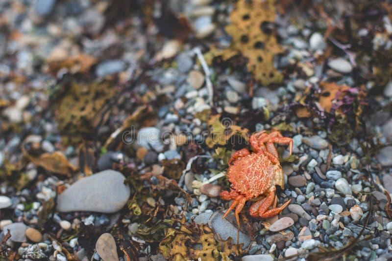 Imagen del primer del cangrejo rojo muerto seco en el Pebble Beach fotografía de archivo libre de regalías