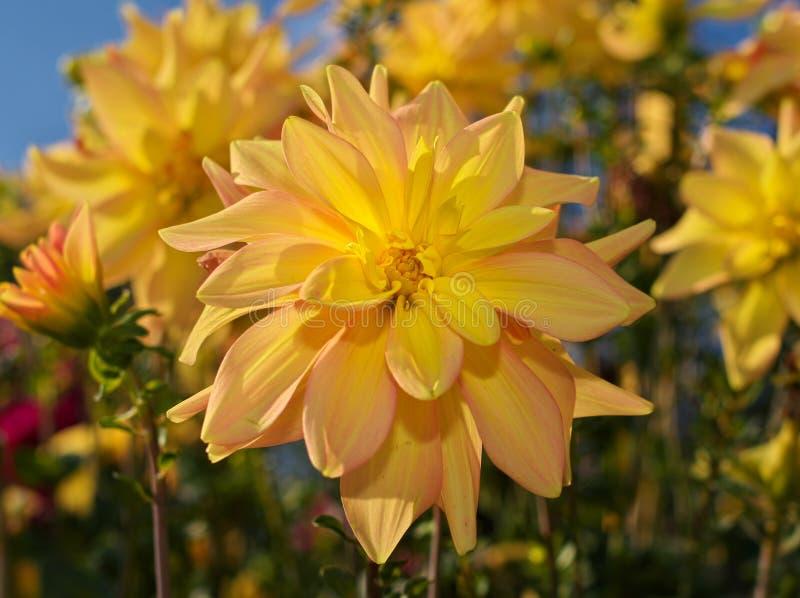 Imagen del primer de la flor de la dalia coloreada en amarillo brillante foto de archivo