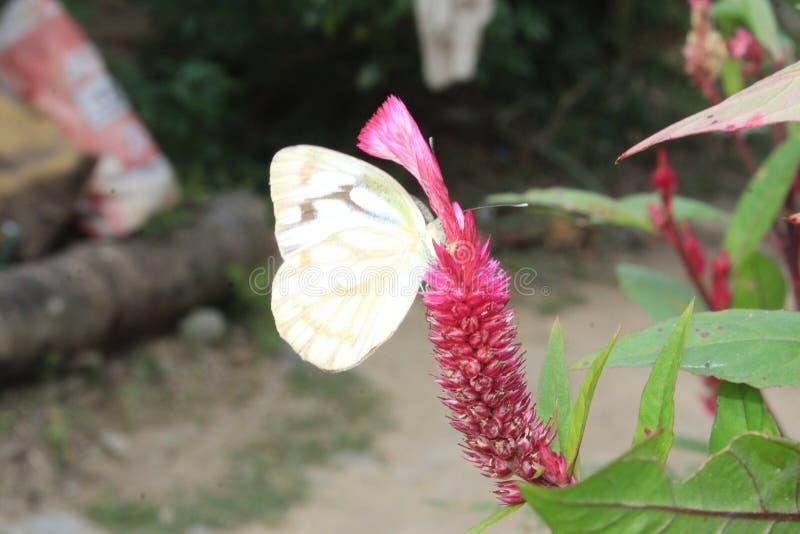 Imagen del primer de la mariposa blanca pionera pelada de la alcaparra blanca o india que descansa sobre woolflowers del color o  imagenes de archivo