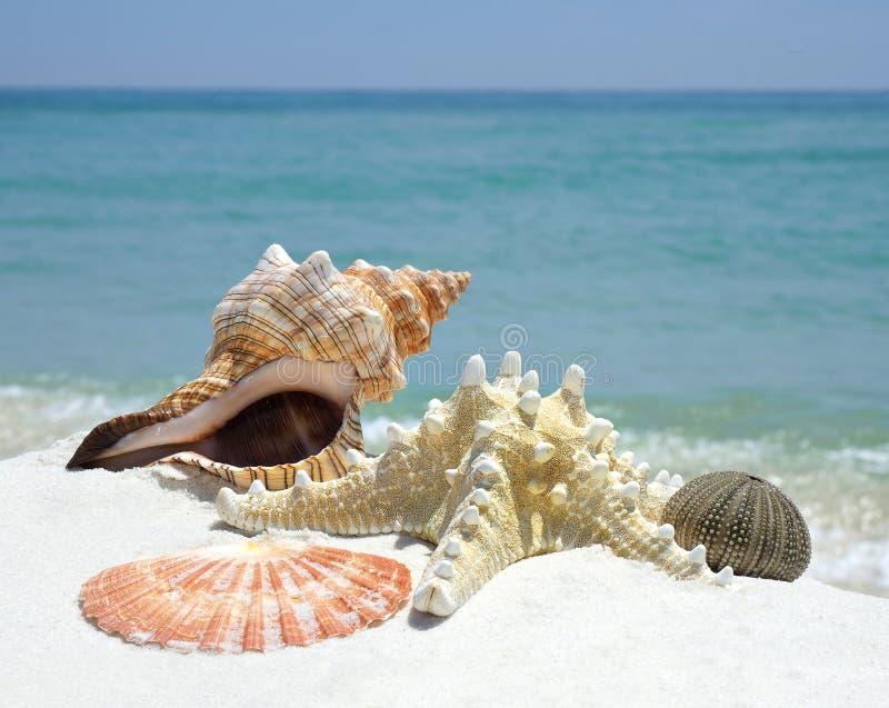 Imagen del primer de las cáscaras del mar en una playa blanca de la arena imagenes de archivo