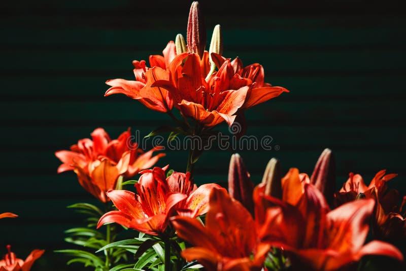 Imagen del primer de lirios florecientes rojos hermosos en fondo negro imágenes de archivo libres de regalías