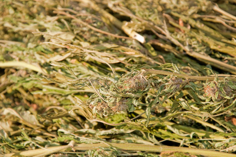 Imagen del primer de un manojo grande de marijuana imagen de archivo libre de regalías