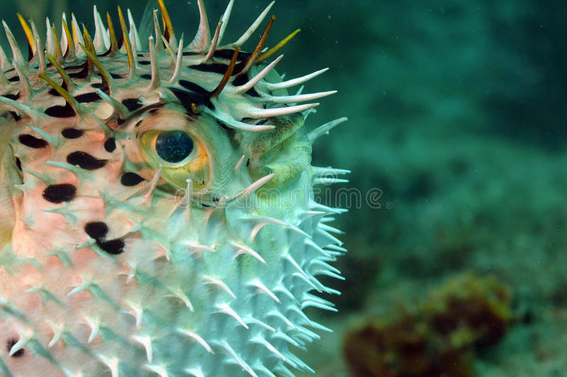 Imagen del primer del blowfish fotografía de archivo libre de regalías