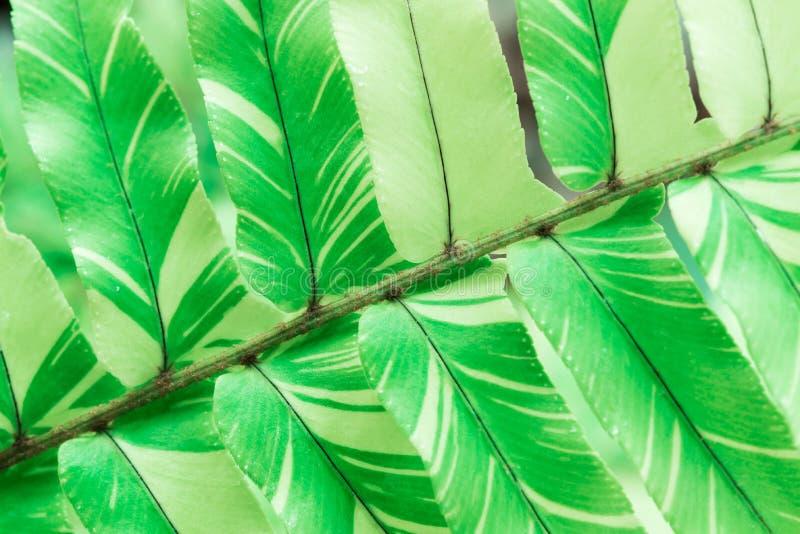 Imagen del primer del modelo verde fresco de la hoja del helecho CCB natural imagenes de archivo