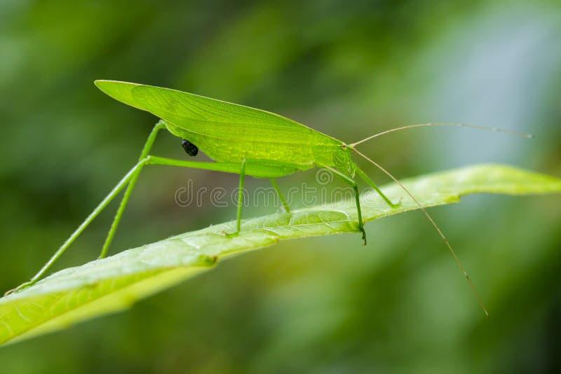Imagen Del Saltamontes Verdes En Las Hojas Verdes Insecto Stock de ...