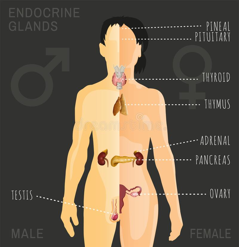 Imagen del sistema endocrino libre illustration
