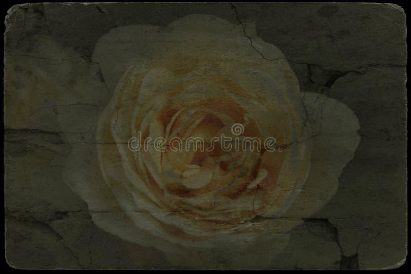 Imagen del vintage del flor de las rosas blancas fotografía de archivo libre de regalías