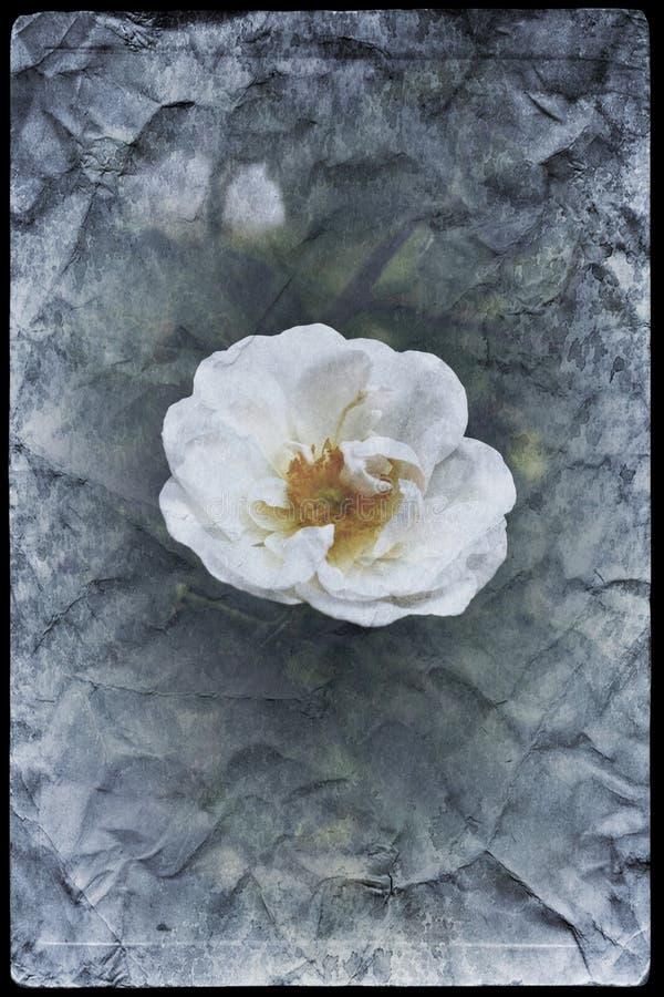 Imagen del vintage del flor de las rosas blancas foto de archivo