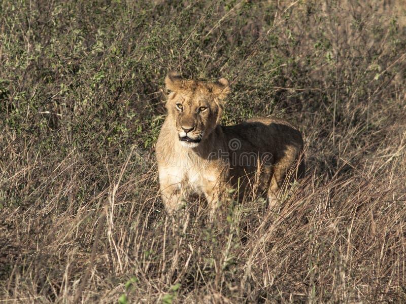 Imagen entonada de una leona sola con un bozal sorprendido de la expresión contra alta hierba en el Masai Mara National Park imagen de archivo