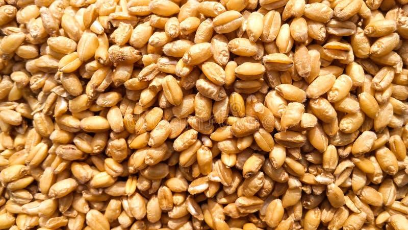 Imagen fresca del primer de las semillas del trigo fotografía de archivo libre de regalías