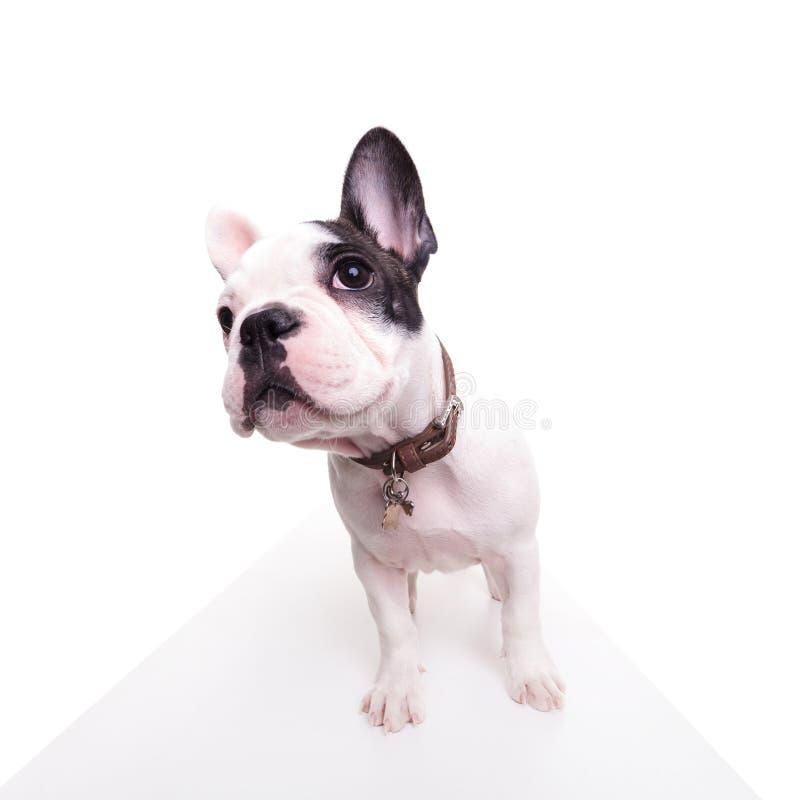 Imagen granangular de un dogo francés lindo que parece curioso fotografía de archivo