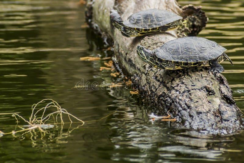 Imagen hermosa de dos tortugas en un tronco de árbol en un lago fotos de archivo libres de regalías