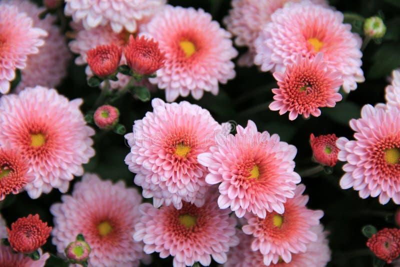 Imagen hermosa de flores rosadas brillantes en la plena floración y el florecimiento fotos de archivo
