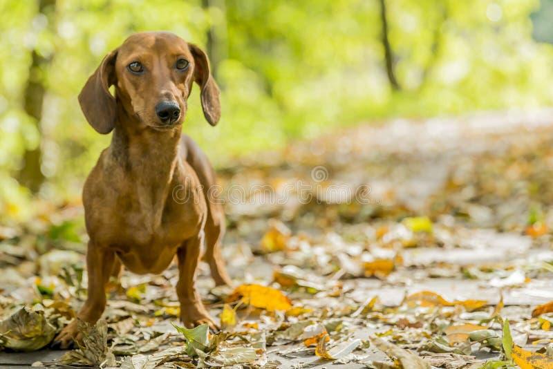 Imagen hermosa de un perro basset que camina en el bosque en un día soleado del otoño fotografía de archivo