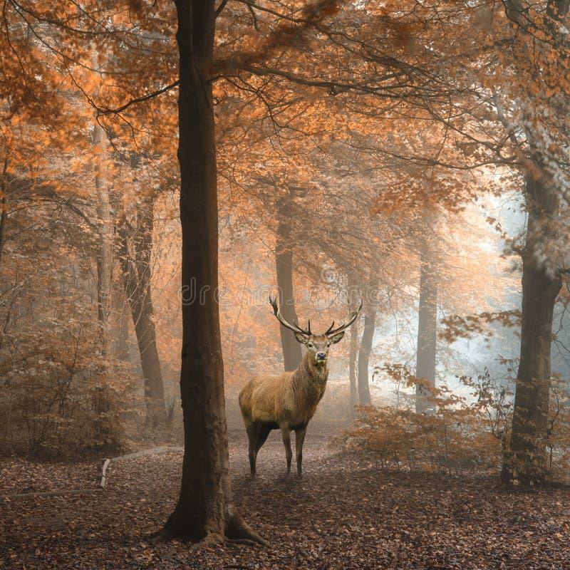 Imagen hermosa del macho de los ciervos comunes en bosque colorido del otoño de niebla fotos de archivo