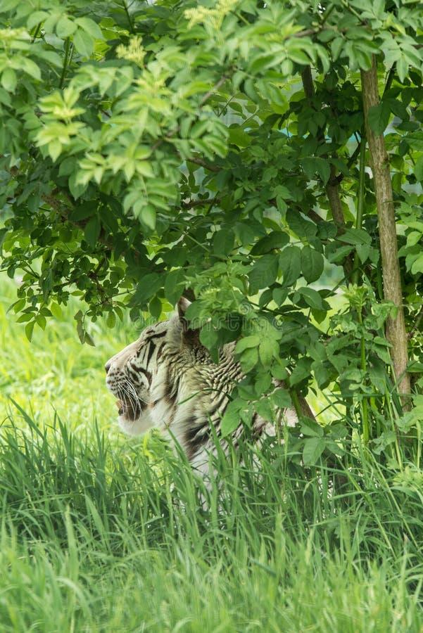 Imagen hermosa del retrato del Panthera blanco híbrido el Tigris i del tigre imagen de archivo