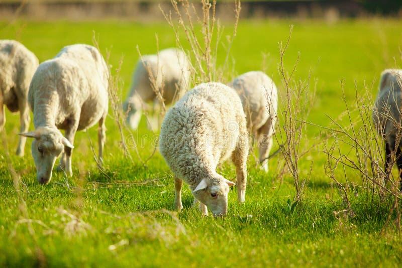 Imagen horizontal del primer de pastar ovejas en un prado del verano imágenes de archivo libres de regalías