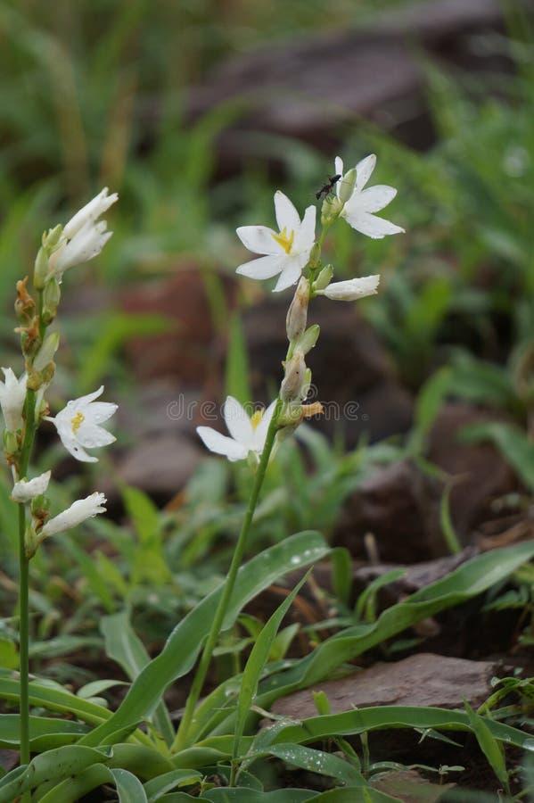 Imagen india de la flor blanca fotos de archivo libres de regalías