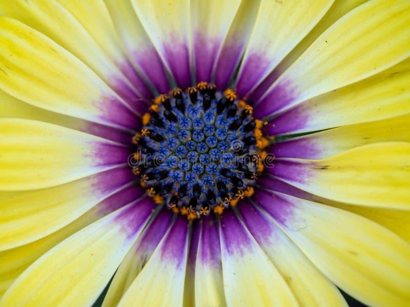 Imagen macra colorida del ` de ojos azules de la belleza del ` del osteospermum imágenes de archivo libres de regalías