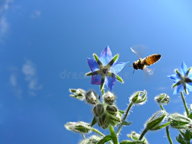 Imagen macra de la abeja de la miel que recoge el néctar imagenes de archivo