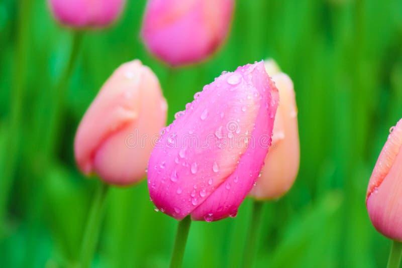 Imagen macra de la flor del tulipán rosado joven con el fondo verde borroso Gotas de agua, descensos de rocío de la mañana en los fotografía de archivo