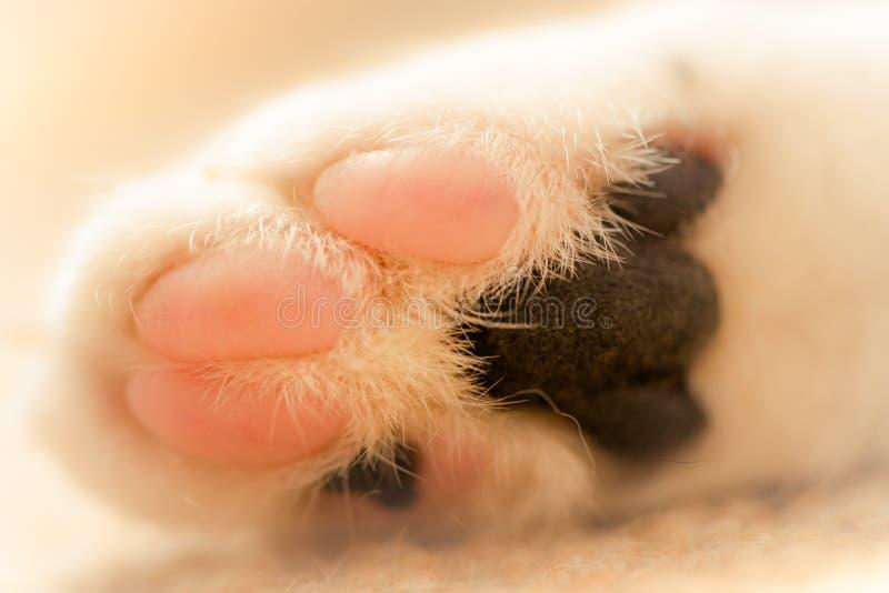 Imagen macra de la pata blanca de los gatos fotografía de archivo