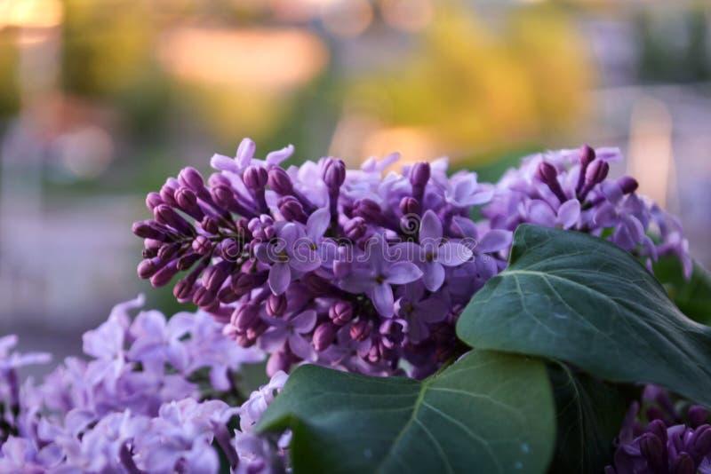 Imagen macra de las flores violetas de la lila de la primavera, fondo floral suave abstracto imágenes de archivo libres de regalías
