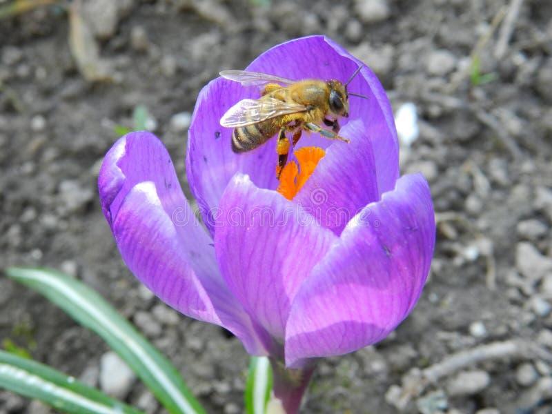 Imagen macra de una abeja en la flor del azafrán fotos de archivo