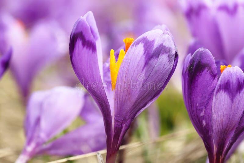 Imagen macra del azafrán salvaje de la primavera foto de archivo libre de regalías