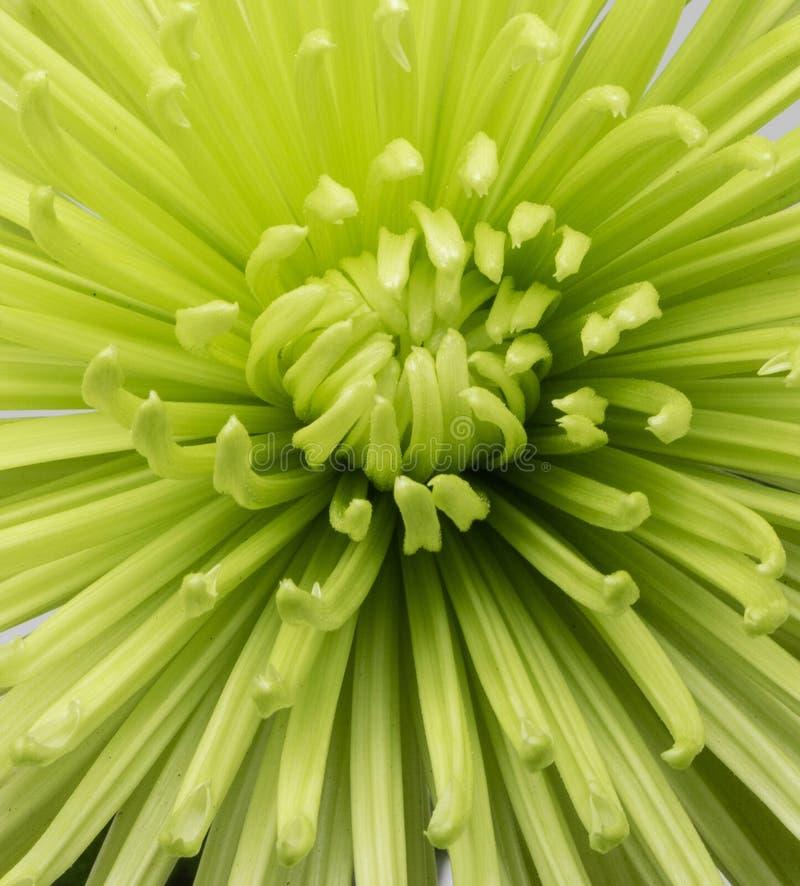 Imagen macra del crisantemo verde vertical fotografía de archivo