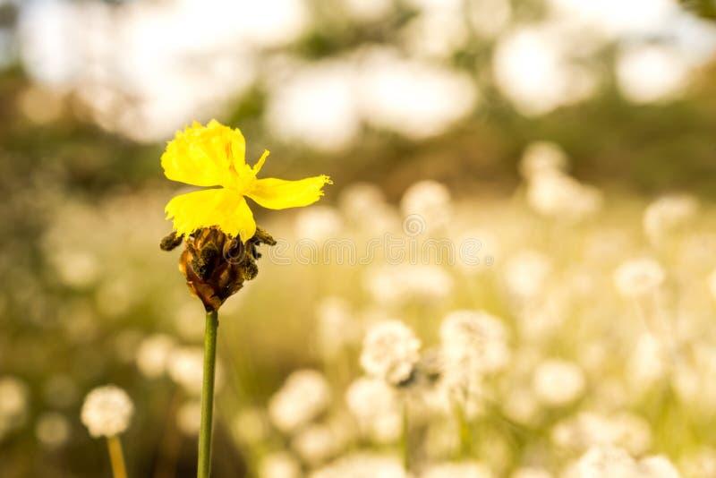 Imagen macra del fondo del campo de la flor salvaje amarilla y de flores blancas de la falta de definición fotografía de archivo