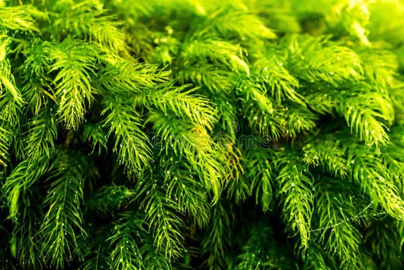 Imagen macra del musgo y del rocío verdes frescos del polytrichum imagenes de archivo
