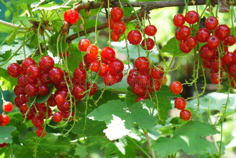 Imagen macra del primer de las pasas rojas Fondo floral del jardín del verano Manojos rojos de la baya entre las hojas verdes fotos de archivo