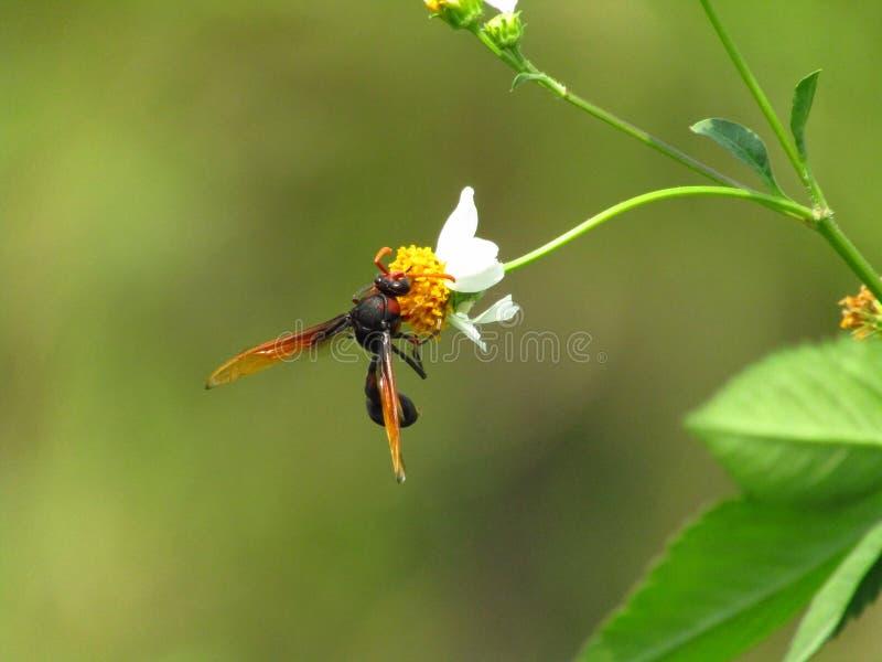 Imagen macra hermosa de una abeja Heterogyna en una flor blanca con un pistilo amarillo foto de archivo libre de regalías