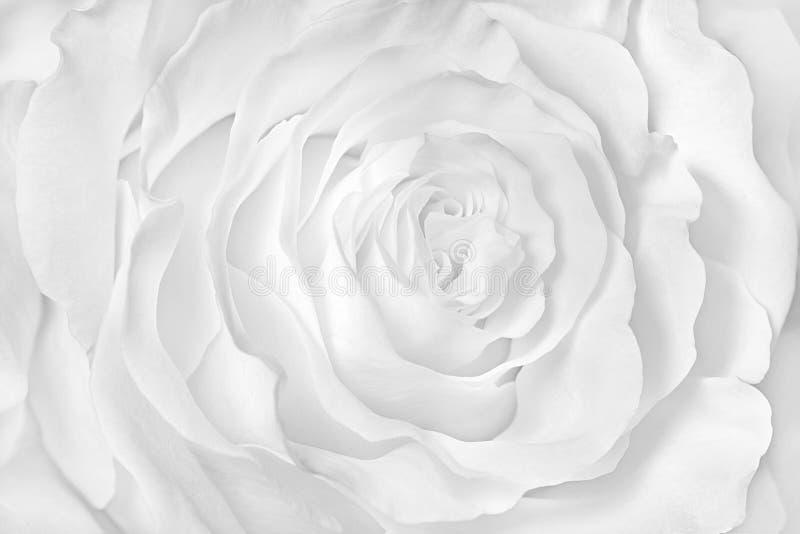 Imagen monocromática, primer de la rosa del blanco imagen de archivo libre de regalías