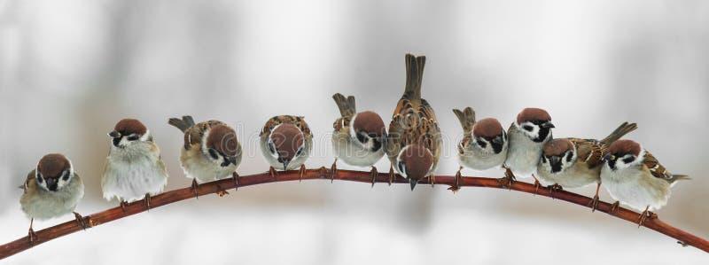 Imagen panorámica de los gorriones lindos divertidos de los pájaros que se sientan en un salvado fotografía de archivo libre de regalías