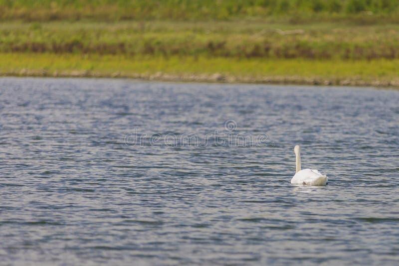 Imagen posterior hermosa de una natación del cisne en el agua tranquila con el fondo verde imagen de archivo