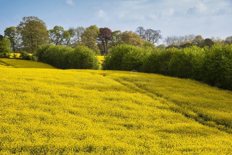 Imagen preciosa del paisaje del campo del canola de la rabina en luz del sol suave hermosa de la mañana de la primavera en campo  imagenes de archivo