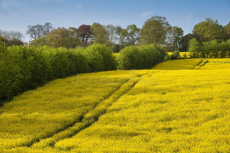 Imagen preciosa del paisaje del campo del canola de la rabina en luz del sol suave hermosa de la ma?ana de la primavera en campo  imágenes de archivo libres de regalías